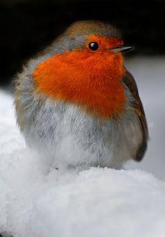 European robin (Erithacus rubecula) a. Pretty Birds, Love Birds, Beautiful Birds, Animals Beautiful, Cute Animals, Small Birds, Little Birds, Colorful Birds, Robin Bird