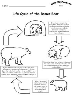 We're Going on a Bear Hunt - life cycle of a bear worksheet