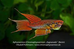 Chromaphyosemion bitaeniatum Zagnanado my-fish – Aquaristik Survive Projekt » Aphyosemion bitaeniatum – Zweistreifen-Prachtkärpfling