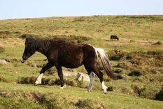 Dartmoor Pony (A)
