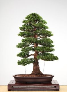 Hinoki Cypress – Chamaecyparis obtusa- Featured Tree : Pacific Bonsai Museum