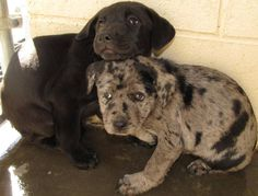 No longer available. URGENT! These little catahoula leopard dog mixes are scared and they need a home.  They are at the Lee County animal shelter in NC.