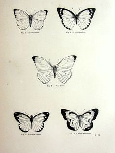 Gorgeous vintage butterfly print antique original 1860 lepidoptera f ...
