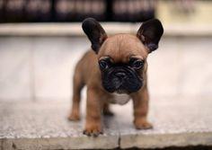 French Bulldog puppy socialization http://www.frenchbulldogbreed.net/french-bulldog/french-bulldog-puppy-socialization.html