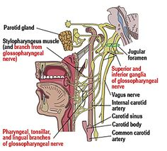 Glossopharyngeal Neuralgia, Trigeminal Neuralgia, Vagus Nerve, Internal Carotid Artery, Parotid Gland, Dental Procedures, Cranial Nerves, Medical Information