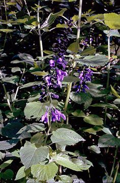 Salvia guaranitica 'Black and #Blue' is a tall perennial with a running rootstock, forming a wide clump of stems bearing ovate leaves and loose spikes of dark blue flowers 4cm long, each set in black calyx, and opening in late summer and autumn. Height:1.5-2.5 metres