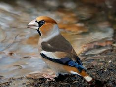 BirdGuides/John Robinson-BBC