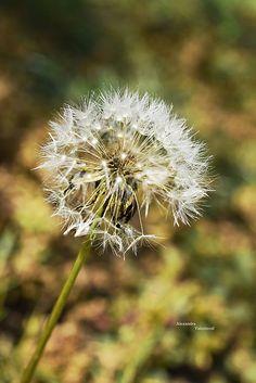 Púpava I dandelion