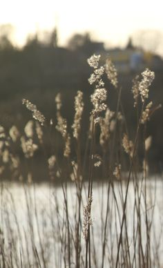 hayhay Dandelion, Artists, Fall, Flowers, Plants, Photography, Autumn, Photograph, Dandelions