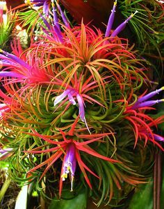 Tillandsia Ionantha...aka..Sky Plant  a very colorful bromeliad at Marie Selby Botanical Gardens in Sarasota, FL. If you really enjoy Orchids, Bromeliads, Epiphytes, Hibiscus, etc...they have over 20,000 plants/flowers to enjoy on 9.5 acres...it's a plant/flower lovers destination if visiting Sarasota.