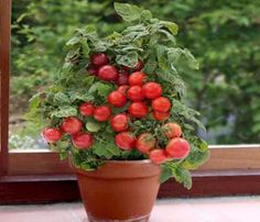 #Tomato Planting – Get the Best Results