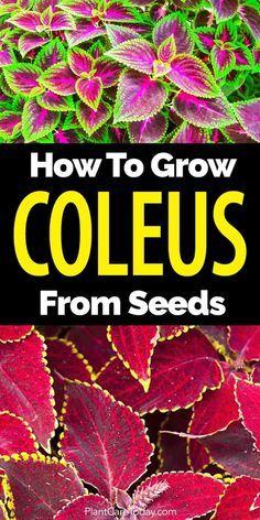 Growing coleus seeds