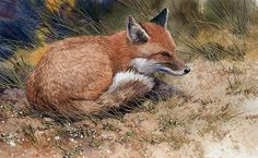 Red Fox, detail by Joe Garcia Watercolor ~ 7 x 15 Watercolor Red, Watercolor Animals, Watercolor Portraits, Watercolor Paintings, Silver Foxes, Fox Art, Cute Fox, Red Fox, Wolf