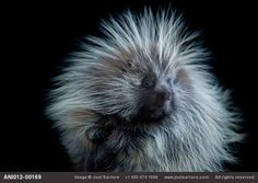 Porcupine acting casual