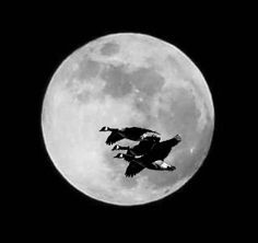 Wilt geese that fly with the moon on their wings.
