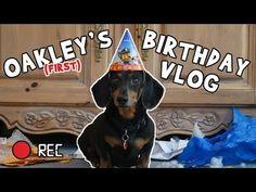 cb662837645 Ep 2: Oakley the Dachshund's BIRTHDAY VLOG – Funny Dog Video Funny Dog  Videos Youtube