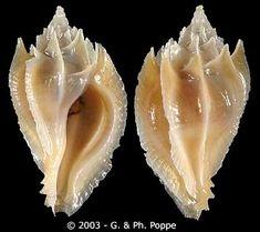 Paziella (Flexopteron) poppei