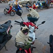 Pugs along for the ride in Thailand. Trueworldtravels.com
