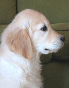 Golden Retriever puppy. Visit a Shelter and save a life -- experience the LOVE!
