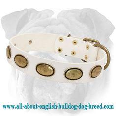 #White English Bulldog #Collar Decorated with Oval Plates $59.00 #dogcollar #accessory #englishbulldog #style #decoration