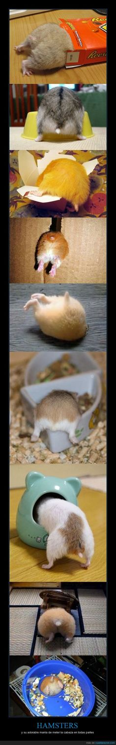 HAMSTERS and there adorable obsession of getting there heds in to something
