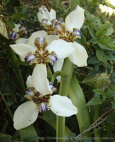Neomarica cándida. crinum malacitano: Bulbosas
