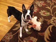 SOPHIE 3: Boston Terrier, Dog; Greensboro, NC