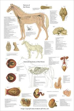 "Horse Anatomy Nervous System and Organs Poster - 24"" X 36"""