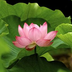 More than just a pretty face (and scent). In several religions Lotus Flowers also represent purity of mind and body.