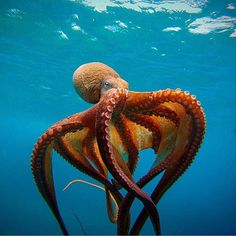 Large octopus floating just below the ocean's surface.