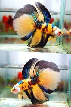 Live-betta-fish-HM-MALE-yellow-green-blue-white-black-APACHE-FIRESTORM-NEW