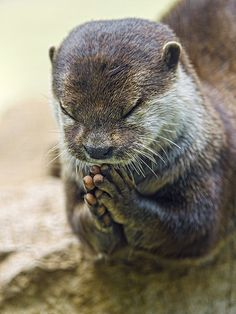 Another funny shot of an otter praying, with closed eyes, this time! - Photo by Tambako the Jaguar