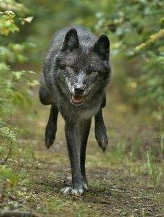 Picture by Brad HillThis wolf image was shot on a mountain trail northwest of Golden in August Believing this wolf was nearby, photographer Brad Hill set up his camera gear on a game trail and was able to capture this dramatic shot. Wolf Images, Wolf Pictures, Wolf Spirit, Spirit Animal, Beautiful Wolves, Animals Beautiful, Wolf Poses, Of Wolf And Man, Animals And Pets