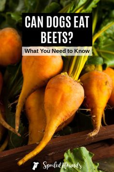 Can dogs eat beets? Keep your dog safe and find out what you need to know about dogs eating beetroot, silverbeet, beet chips, beet greens, beet juice, beet pulp, pickled beets, and canned beets. #dogsafety #doghealth #dogs #doglovers #doginformation #dogownertips #pethealth #beets #beetroot Red Beets, Pet Health, Health Diet, Eating Raw Beets, Can Dogs Eat Oranges, Beet Chips