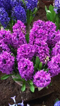 Fragrant hyacinths on display in Holland. Fragrant hyacinths on display in Holland. Amazing Flowers, Pretty Flowers, Purple Flowers, Preannual Flowers, Best Flowers, Full Sun Flowers, Shade Flowers, Planting Bulbs, Planting Flowers
