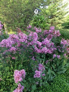 These are bloom again lilacs. Not as frequent as the traditional but full of color that last long.