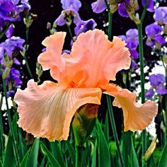 Single pink Iris on garden Georgetown KY Photo: Jane Drake Hale
