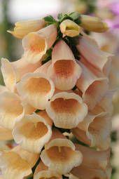 Foxglove 'Dalmatian Peach' - Perennial Plants & Biennial Plants - Thompson & Morgan - perennial D Shade Perennials, Flowers Perennials, Planting Flowers, Cottage Garden Plants, Garden Seeds, Cottage Gardens, Color Melon, Pink Flowers, Beautiful Flowers