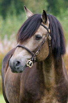 Connemara Stallion named Rockfield Scarface.