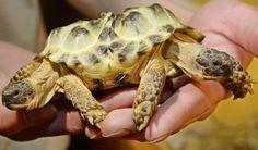 Een tweekoppige schildpad, ook wel 'Testudo horsfieldi' genoemd, wordt getoond in een museum in Oekraïne. Naast twee hoofden heeft het diertje ook zes poten. Tip: heb jij deze foto's al gezien?