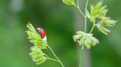 Lady bird on a herb straw close up
