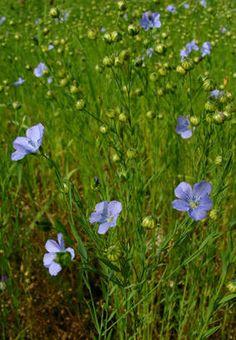 LIN, Hør, blåe, lein - Linum usitatissimum.  Ulike lintyper: Fiberlin, spinnelin, treskelin, oljelin, frølin. Lin er en ettårige plante med en hvitaktig pælerot og tynne stengler som er mer eller mindre forgreinet øverst. Høyden på plantene avhenger av hvilken underart det dreier seg om, men er vanligvis mellom 30 og 80 cm; blå, hvite eller rosa blomster. Lin har vært dyrket så lenge og i så mange land at opprinnelsen til planten er ukjent. Dyrkes i store deler av verden, forvillet i Norge.