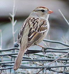 I love the songs of the sparrow.  I remember hearing them while growing up in our homestead at Talkeetna Alaska and their songs comfort me today.   White Crowned Sparrow!