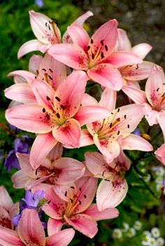 Pink Tiger Lillies