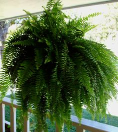 "Pinner said, ""Actually I keep mine in the same pots they come in, every other day they get submerged into a 5 gallon bucket filled with 1/2 cup of Epson salts & 3 gallons of regular water until the soil stops bubbling, then they are hung up to drip dry... always have ferns that are dark green, glossy, and 3x3 by September from ferns that start out with 7 fronds in May..."" might have to try this, I love ferns."