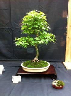 Érable japonais sélect, Acer palmatum select