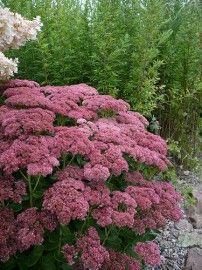 Sedum `Herbstfreude` (Hemelsleutel) | VASTE PLANTEN | Tuinplanten stekplek
