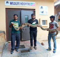 The #WildlifeSOS team in Agra rescued a 12 foot long #Python weighing 23.5 kgs from National Highway-2 (Agra-Mathura highway). The big constrictor is currently kept under observation and will be released back into its natural habitat, once deemed fit. For more information, read the coverage by The Times of India here;http://timesofindia.indiatimes.com/city/agra/Wildlife-SOS-rescues-big-python-in-Agra/articleshow/53915030.cms
