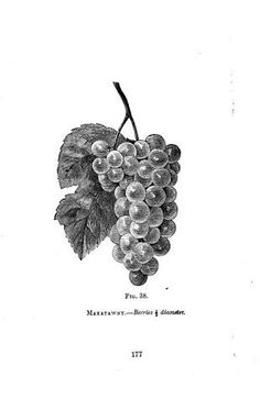 Image result for grape drawing vector