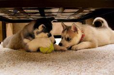 Conspiratorial husky puppies.